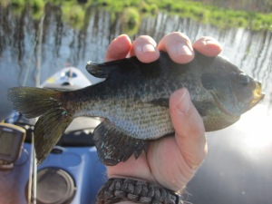 First bluegill caught on Sage Lake